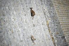 Szalona wspinaczka alpejskich koziorożców po prawie pionowej ścianie - Podróże