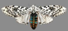 Another photo of the Leopard moth.