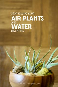 This post will save your air plants - learn to water properly