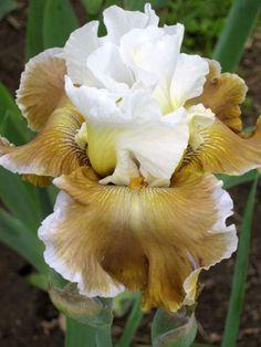 'Going Green' Iris Iris Flowers, All Flowers, Types Of Flowers, Planting Flowers, Beautiful Flowers, Iris Garden, Lawn And Garden, Unusual Flowers, Bearded Iris