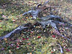 Bien après que l'arbre ait été coupé, la souche et les racines demeurent intégrés au sol et ajoute une touche de mystère au paysage forestier. Terrains, Hiking Boots, Tree Stump, Roots, Hiking Shoes