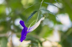 bush clockvine or king's-mantle (Thunbergia erecta) at the Royal Botanic Gardens Kew London England United Kingdom www.alamy.com/image-details-popup.asp?ARef=FAJA83 marketplace.500px.com/photos/134810455 #purple #nature #plant #natural #elegant #green #growth #closeup #color #beauty #beautiful #tropical #blue #spring #flowers #space #garden #outdoor #bush #leaves #violet #seasonal #season #day #background #floral #thunbergia #erecta #design #bloom