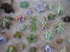 Succulents Cuttings