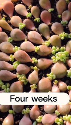 Propagating Succulents, Growing Succulents, Succulent Gardening, Succulent Terrarium, Cacti And Succulents, Growing Plants, Planting Succulents, Garden Planters, Household Plants
