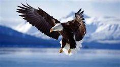 Bald Eagle in flight - Alaska
