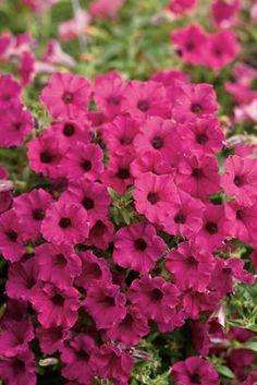 Supertunia® Sangria Charm - Petunia hybrid