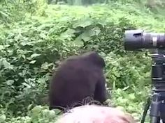 A gorilla's gentle reminder that he could easily kill you Funny Animal Memes, Funny Animal Videos, Funny Animal Pictures, Best Funny Pictures, Funny Animals, Cute Animals, Cat Memes, Funny Videos, Funny Photos