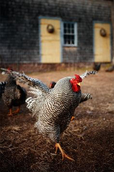 Dominique chickens are a threatened American breed on the Ark of Taste`s heritage list.  If you raise them you get great feathers, eggs, meat, and you help preserve a dieing breed.