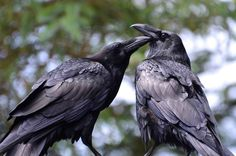 Your daily ravens by Wendy Davis Photography Facebook