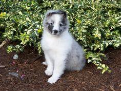 Bi-Blue Sheltie Puppies | Farwest Shelties in Puyallup: Puppies by Ch Sea Haven Etched in Silver ...