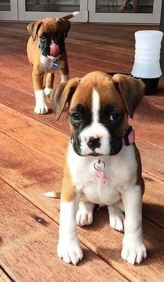 Boxer Dogs adorable puppies& puppies cutest & puppies funny Marvelous Boxer Dogs Tips and Ideas Source by gcipollaa The post Marvelous Boxer Dogs Tips and Ideas appeared first on Fitz Hounds. Cute Boxer Puppies, Boxer Dog Puppy, Puppies Puppies, Adorable Puppies, Funny Boxer Dogs, Labradoodle Puppies, Rottweiler Puppies, Chien Cane Corso, Beautiful Dogs