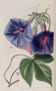 31096 Ipomoea indica (Burm.) Merr. [as Pharbitis learii (Knight ex Paxton) Lindl.] / Edwards's Botanical Register, vol. 27: t. 56 (1841) [S.A. Drake]