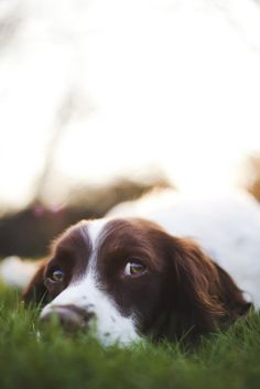 cute eyes springer spaniel