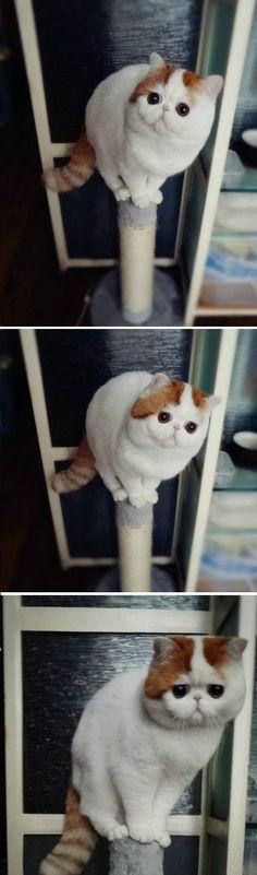 I adore exotic shorthair cats!!