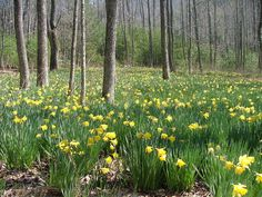 Daffodil naturalizing occurs without intervention. Pick a good sized bed when naturalizing daffodils and over time you will have a sea of golden trumpet shaped blooms. Learn more here.