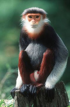 ~~ Red-shanked Douc Langur ~~