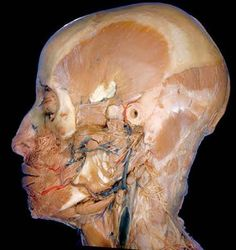 Cadaver dissection - great images (not for the squeamish)