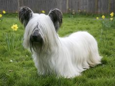 Skye terrier with prick ears.  Endangered breed.  Only 44 registered in UK in 2011.  =(