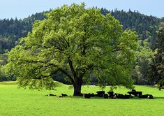 #Cows In The Shade Of A Big #Tree by Michele Avanti
