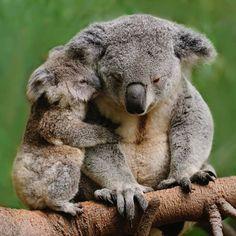 Mama and Baby Koala Bear! Too much cuteness here! Cute Baby Animals, Animals And Pets, Funny Animals, Wild Animals, Nature Animals, Koala Baby, Baby Otters, Cute Koala Bear, Australian Animals