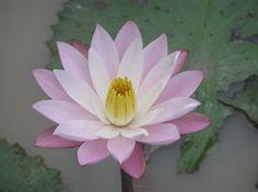 Flor de loto en Thailandia