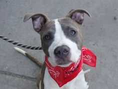 ~~STUNNING 8 MONTH OLD BOY PUPPY  TO BE DESTROYED - 08/08/14~~PUPPY ALERT~~ Brooklyn Center -P  My name is CHAUNCEY. My Animal ID # is A1008467. I am a male br brindle and white am pit bull ter mix. The shelter thinks I am about 8 MONTHS old.  I came in the shelter as a STRAY on 07/29/2014 from NY 11212, owner surrender reason stated was STRAY.