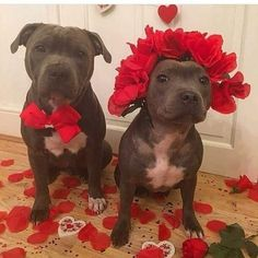 Image about love in cute animals(๑>◡ Pit Bull Amor, Pit Bull Love, Cute Puppies, Cute Dogs, Dogs And Puppies, Doggies, Chihuahua Dogs, Animals And Pets, Baby Animals