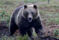 Rovaniemellä ammuttiin karhu - Lapin Kansa
