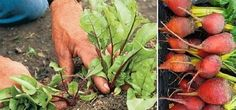 Ez a zöldség segít a betegségek megelőzésében, javítja a látást, tisztítja a vastagbelet és még ízletes is!