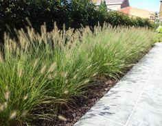 Dwarf Hameln fountain grass – Growing Lavender Gardening - Growing Plants at Home Outdoor Plants, Outdoor Gardens, Grass For Sale, Fountain Grass, Vegetable Garden Design, Garden Types, Ornamental Grasses, Garden Inspiration, Vegetable Garden