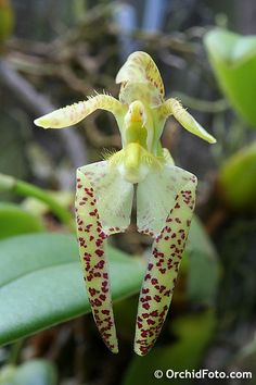 Bulbophyllum lasiochilum (yellow)