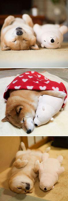Shiba Inu Maru Loves To Sleep, Especially With His Little Stuffed Polar Bear Toy