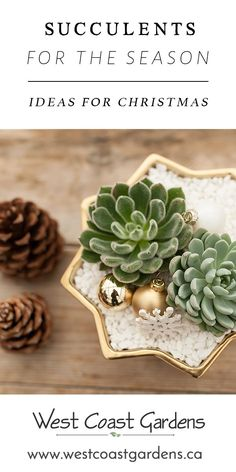 There's one home decor favourite that you don't have to worry about though, Christmas Succulents! Such a versatile and easy-going friend.