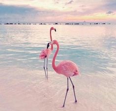Aruba is well known for the insta famous pink flamingos! This is a guide to everything you need to know about flamingo beach in Aruba. Flamingo Wallpaper, Beach Wallpaper, Summer Wallpaper, Nature Wallpaper, Flamingo Beach, Flamingo Art, Pink Flamingos, Aruba Flamingos, Cute Baby Animals