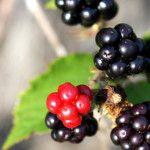 Kedy strihať černice Pesto, Fruit, Garden, Food, Garten, Lawn And Garden, Essen, Gardens, Meals