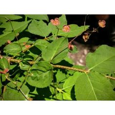 Brslen bradavičnatý ( Euonymus verrucosus )