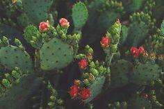 Arbustes Opuntia Cactus Arizona Planter Des Fleurs Jardin Luxuriant Fleur De