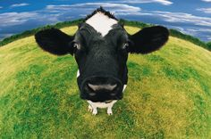 Friesian Cow by DigitalVisian.  (Uses a Fish-eye lens)   |   http://www.gettyimages.com/detail/photo/headshot-of-friesian-cow-royalty-free-image/dv455010