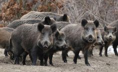 Radioactive boars running wild around Fukushima nuclear reactors are being shot - All of God's creatures have rights, includes both human and non-human animals Nuclear Reactor, Pet News, Wild Boar, Animal Alphabet, Happy Animals, Endangered Species, Animal Rights, Mammals, Lions