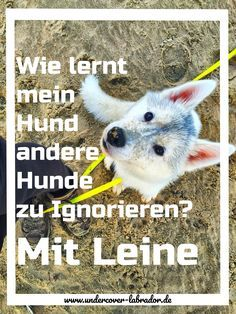 Ignore other dogs on a leash Hund - Hund welpen - Rottweiler hund - Hund bilder - Source Hund erzieh Pet Dogs, Dogs And Puppies, Dog Cat, Doggies, Dog Hacks, Rottweiler, Animals And Pets, Dog Training, Labrador Retriever