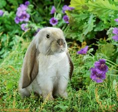 Young English Lop
