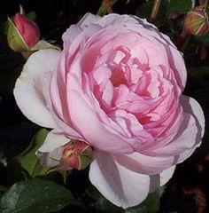 ~Heritage - One of the best David Austin roses. Flowers are medium-sized of perfect form, prettily cupped in shape and of a soft pink colour. Flowers repeatedly and regularly with a strong fragrance. The growth, though relaxed at first, soon builds into a good bushy.