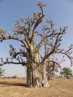 Baobab cerca de la N1, Gandiaye, Senegal