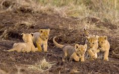paul goldstein five lion cubs playing in the masai mara kenya