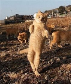 Or dance beautiful cats, funny cat videos, funny cat pictures, funny Cute Cats And Kittens, I Love Cats, Crazy Cats, Cute Cats Photos, Funny Cat Pictures, Funny Animals, Cute Animals, Funny Cats, Animals Images