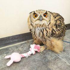 これ僕のおもちゃ。 取ろうとしたら噛むからね…💢 勘弁してくださいよクックさん💧💧 #ふくろうの里 #ふくろうの里原宿店 #ふくろう #ベンガルワシミミズク #クック #うさぎ #おもちゃ #ふわもこふくろう部 #原宿 #カフェ #猛禽類 #owlvillage #owlvillageharajuku #owl #kukku #rabbit #toy #pink #angry #harajuku #tokyo #japan #animal #cafe