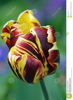 Exotic Tulip Stock Images - Image: 732254