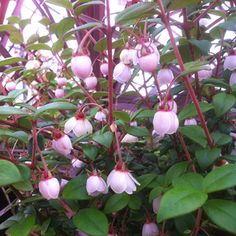 Buy Chilean guava Ka Pow Ugni molinae Ka-Pow ('Yanpow') - An unusual addition to the kitchen garden: 2 litre pot: Delivery by Crocus Guava Plant, Flowering Bushes, Strawberry Plants, Thing 1, Wild Strawberries, Evergreen Shrubs, Woodland Garden, Garden Care, Shade Plants