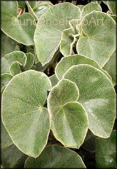 Venosa Shrub-like Begonias