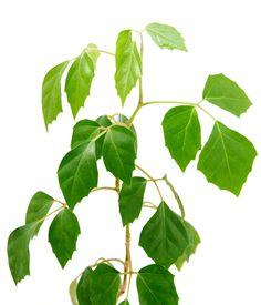 R sultat de recherche d 39 images pour cissus striata - Support de plantes d interieur ...